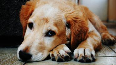 pojištění psa
